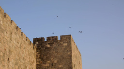 Hooded crows (Corvus cornix) on the walls of Jerusalem Footage