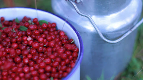 Panning Shot Of Lingonberries Being Poured Into A Bucket stock footage