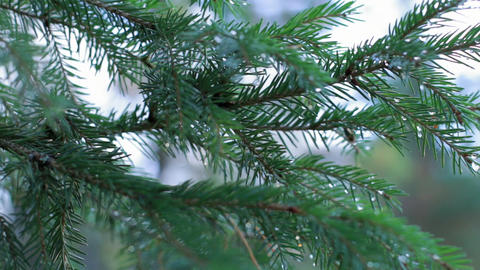 Panning shot of a spruce twigs with water drops Footage