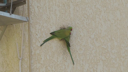 Two green parrots and a hole in the wall Footage
