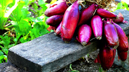A bunch of purple or red onions (Allium cepa L.) (Latin cepa = onion) Footage