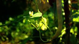 Common beans (phaselous vulgaris) in vegetable garden, tilt up, flower Footage