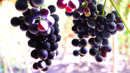 Red grapes on the vine, woodpecker and crows sound, in early september Footage
