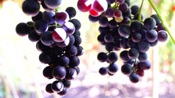 Red grapes on the vine, woodpecker sound, indian summer sun Footage