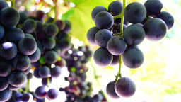 Red grapes on the vine, woodpecker and crows sound and sun Footage