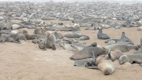 Huge colony of fur seals at Cape Cross, Namibia Footage