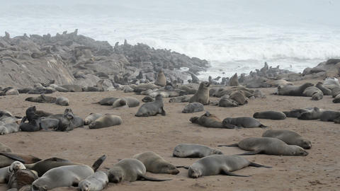 One of the largest colonies of fur seals in the world Footage