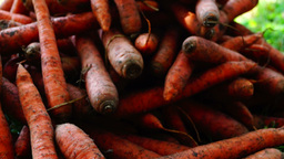 A pile of carrots (Daucus carota) on the ground, tilt up. Carrots crop Footage