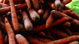A pile of carrots (Daucus carota) on the ground, tilt up. Carrots crop Footage