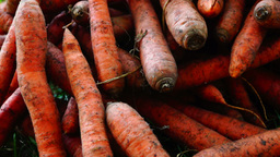 A pile of carrots (Daucus carota) on the ground, panoramic,sound. Carrots crop Footage