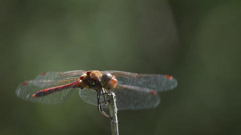 Slow motion of a dragonfly resting and flying Footage