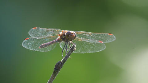 Slow motion of a dragonfly landing on a stick Footage