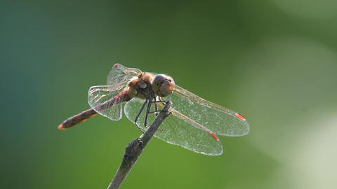 Dragonfly resting on a stick Footage