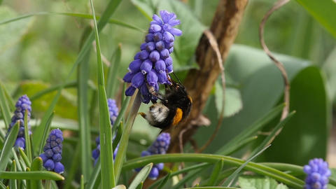 Slow Motion Of A Bumblebee Queen Feeding On Grape Hyacinth stock footage