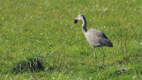 Grey Heron hunting a mouse Footage