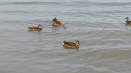 Some Mallards/ Wild Ducks (Anas Platyrhynchos) In The Water stock footage