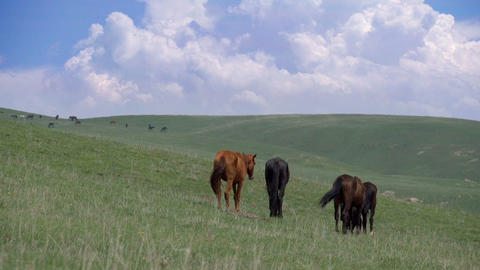 Horses on a Hilly Pasture HD Footage