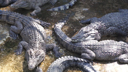 Large crocodiles live in the farm. Philippines Live Action