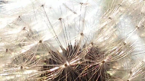 Very Close Up Of White Fluffy Dandelion stock footage