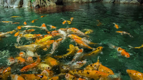 Feeding Golden Carps Footage