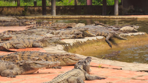 crocodiles lie on bank of pond one comes out of water in park Footage