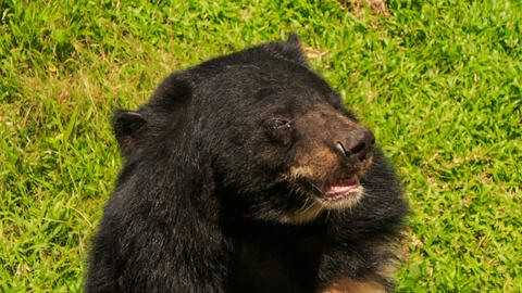 Closeup Black Bear Shakes Large Head And Shout In Tourist Park stock footage