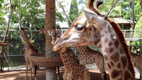 Giraffes in zoological garden Footage