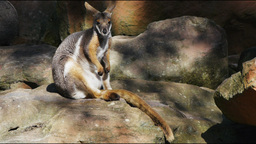 yellow footed rock wallaby Stock Video Footage