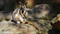 yellow footed rock wallaby Footage