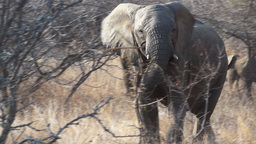 african elephant Footage