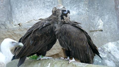 Two eagle vulture close Live Action