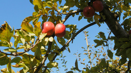 picking ripe apples Footage