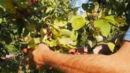 picking fuji apples Footage