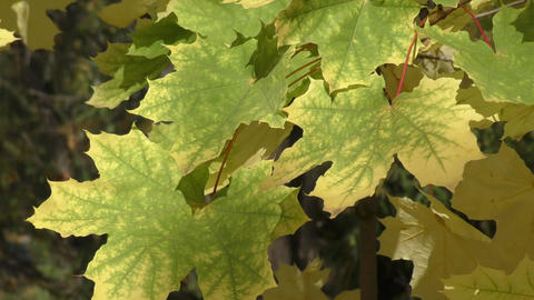 Maple leaves in autumn Footage