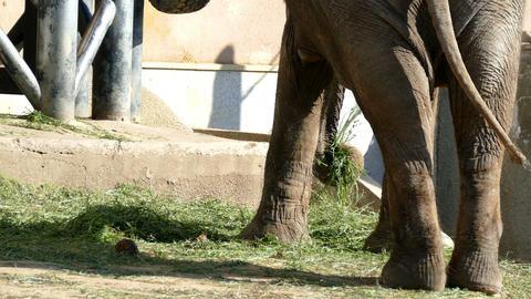 Elephant summer Footage