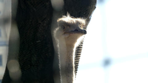 The head of an ostrich Footage