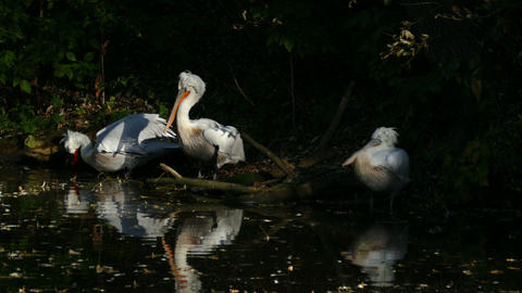 White pelicans on the lake Footage
