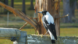 australian magpie close up Footage