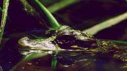 Baby Alligator stock footage