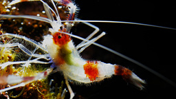 banded cleaner shrimp Footage