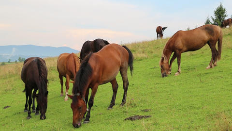 Horses on the meadow Footage