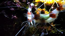 banded coral shrimp Footage