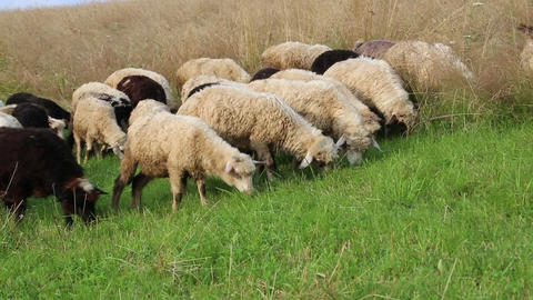 Flock of sheep on pasture ground Footage