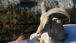 barbary sheep Footage