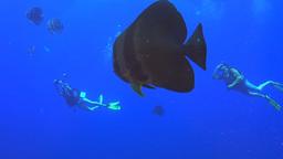 batfish close up and divers Footage