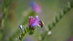 bee on flower Footage