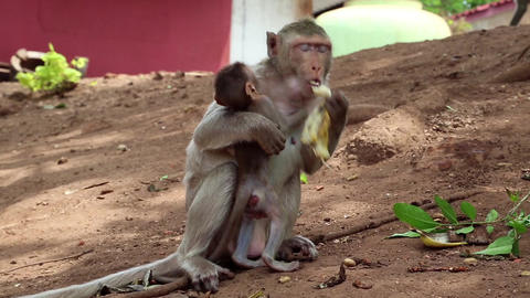 Rhesus macaque with cub sits on the ground and eats banana Footage