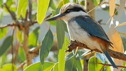 blue winged kookaburra Live Action