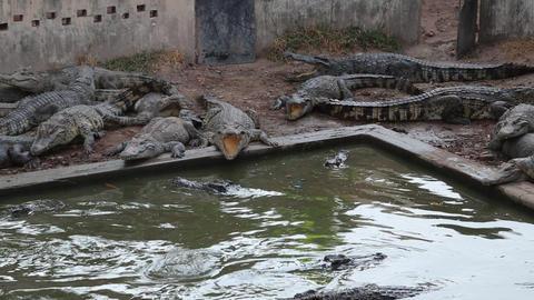 Crocodiles near green water Footage