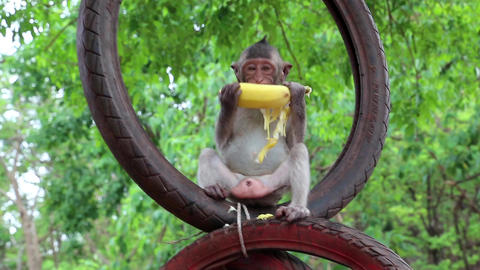 Monkey sits inside the wheel and eats banana, Thailand Footage